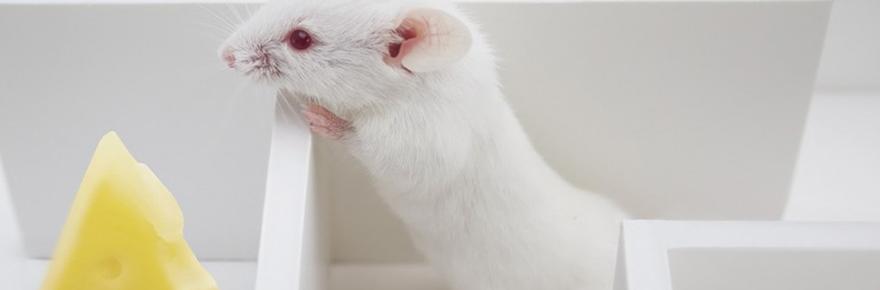 rat-maze-cheese