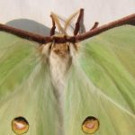 WRUP: Facts about the Luna Moth edition