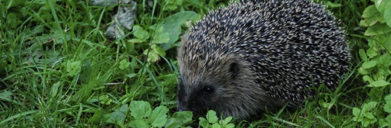 WRUP: Cynthia's report about hedgehogs has raised some concerns among the faculty edition