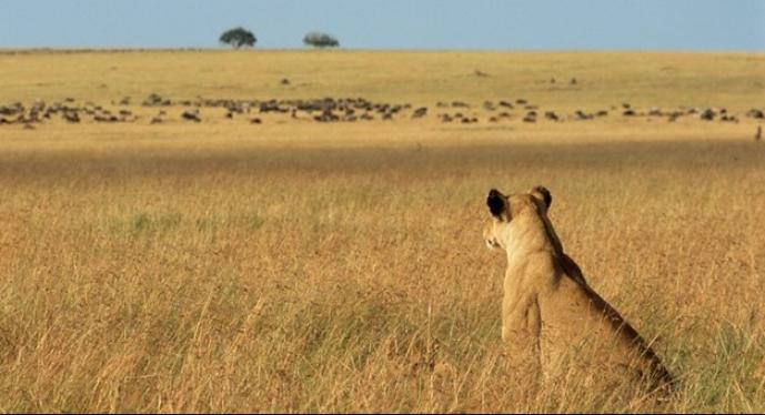 lion stalking.PNG