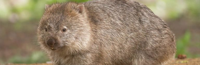 WRUP: Like a wombat edition